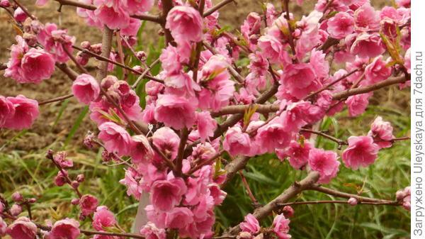 Цветение декоративные персиков всегда обильное. Сорт Любава