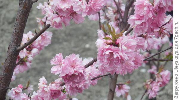 Роскошь цветения декоративного персика