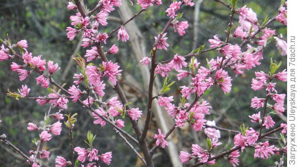 Декоративный персик с хризантемными цветками