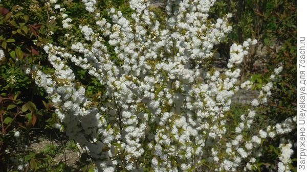 Роскошь цветения вишни железистой Albо Plena