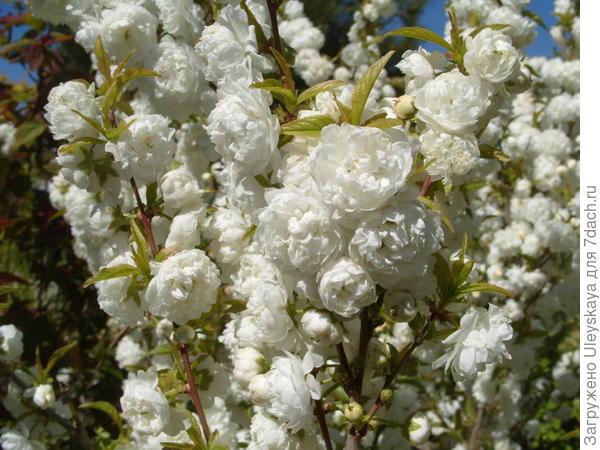 Цветет вишня железистая Albо Plena