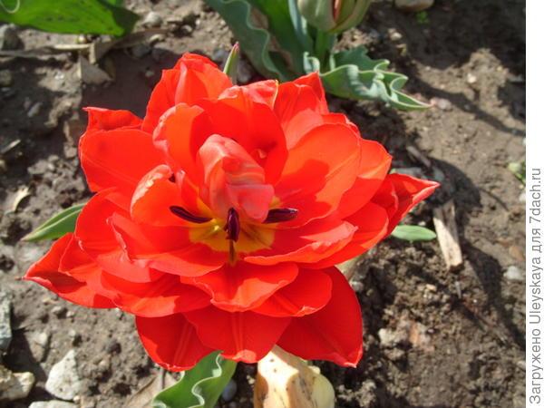 Тюльпан сорт Abba