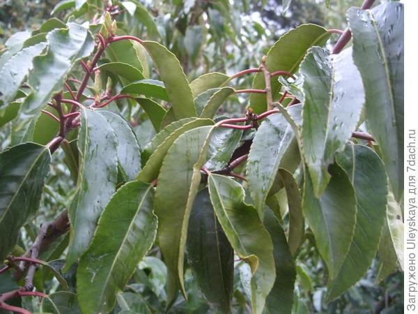 Зубчатые листья лавровишни лузитанской
