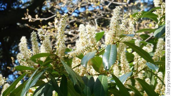 Лавровишня лекарственная Magnoliifolia