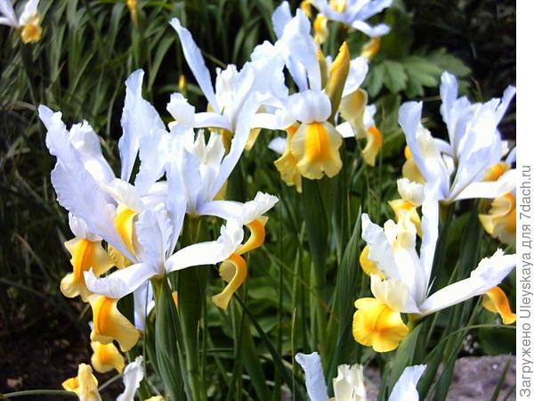 Ксифиумы – волшебная феерия цветения