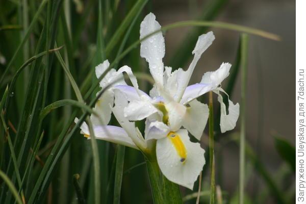 Ксифиум, белоцветковая гибридная форма
