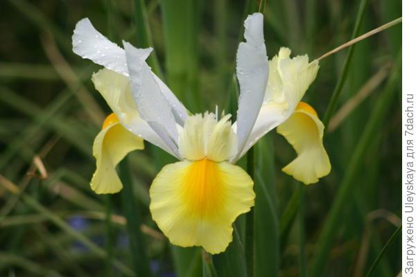 Цветок ксифиума словно большая тропическая бабочка