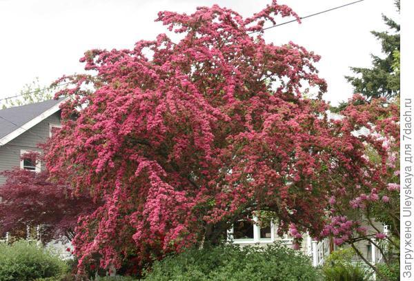Цветет боярышник колючий Pauls Scarlet, фото сайта www.ayearinseattlegardens.com