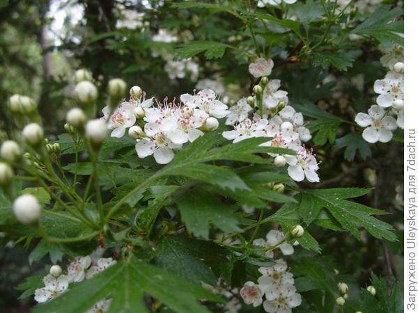 Цветет боярышник Стевена