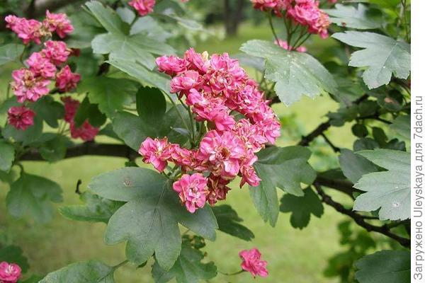 Боярышник однопестичный Rosea-Рlena, фото сайта flower.onego.ru