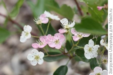 Боярышник однопестичный, фото сайта www.plantes-et-jardins-japonais.fr