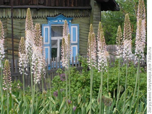 Эремурус на фоне сельской дачи, фото сайта www.liveinternet.ru