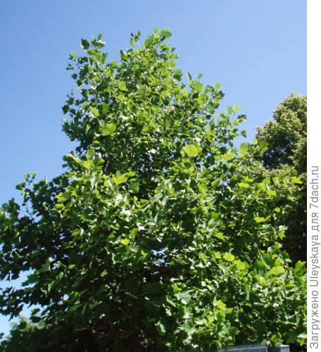 Тюльпанное дерево, фото сайта www.baumschulenordmann.de