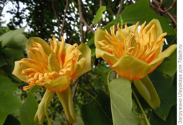 Королевской цветение цветков лириодендрона, фото сайта www.thelovelyplants.com