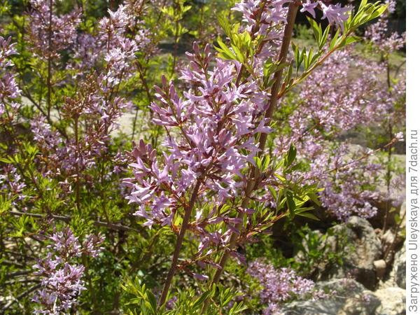 Цветет сирень персидская Рассеченнолистная
