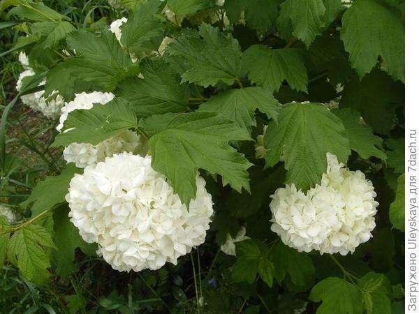 Калина обыкновенная Roseum