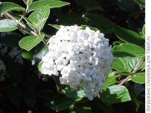 Калина Барквуда, фото сайта www.salisbury.edu