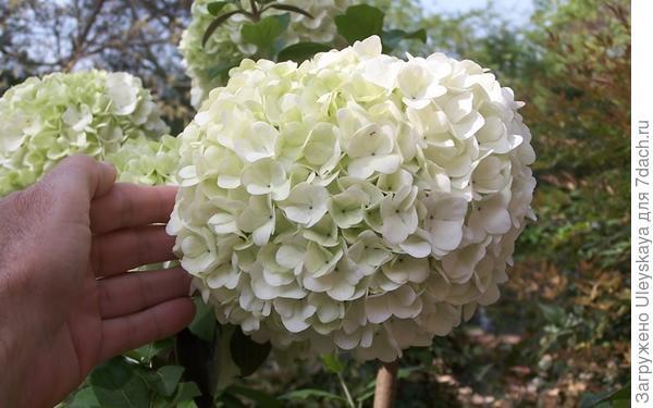 Калина крупноголовая, фото сайта www.gardenerdirect.com