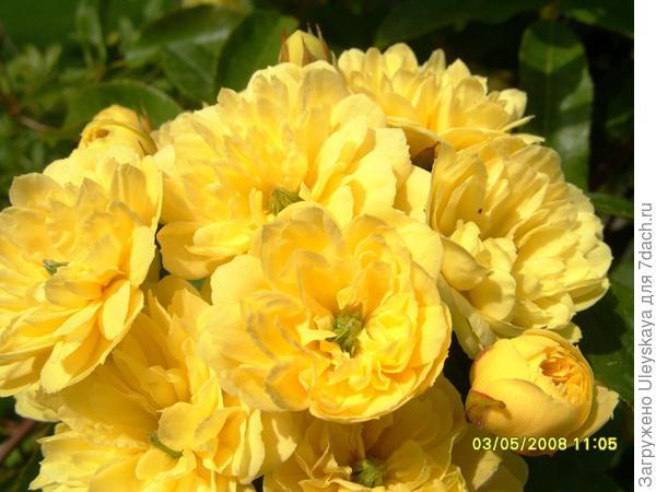 Роза желтая Леди Бэнкс