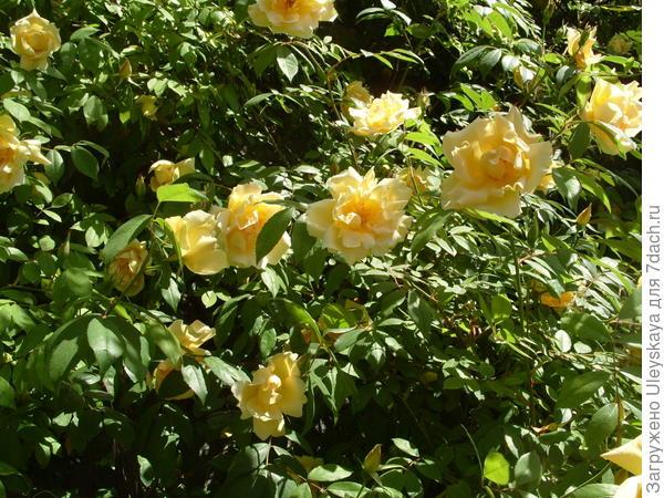 Роза Форчуна желтая махровая
