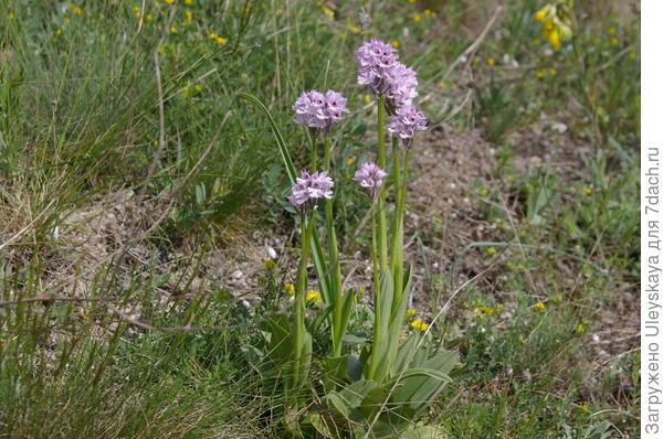 Незнакомая орхидея