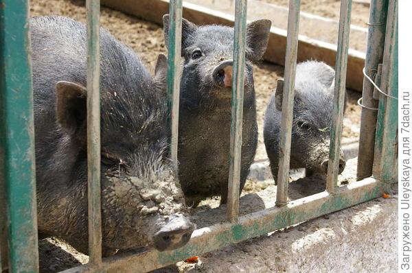 Черные китайские свинки