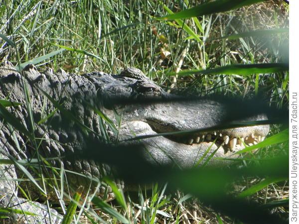 Голова настоящего крокодила