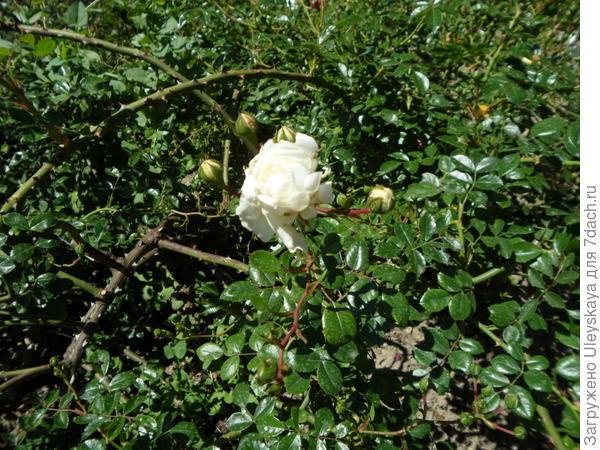 Зеленые блестящие листья некоторых почвопокровных роз – прекрасный фон для феерии цветения