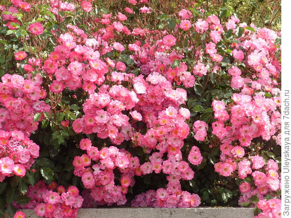 Цветет почвопокровная роза сорт Fair Play