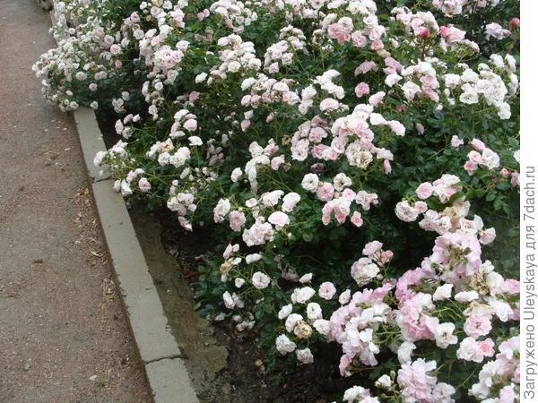 Цветет низкорослый сорт Bonica