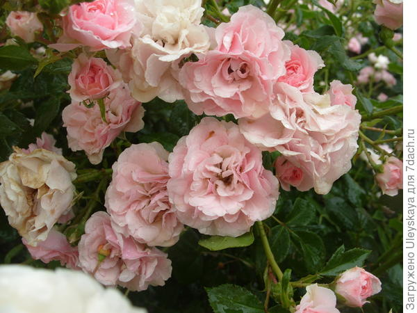 Почвопокровная роза сорт Bonica