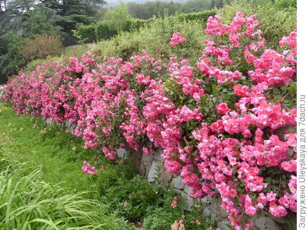 Живая изгородь из почвопокровной розы сорт Fair Play
