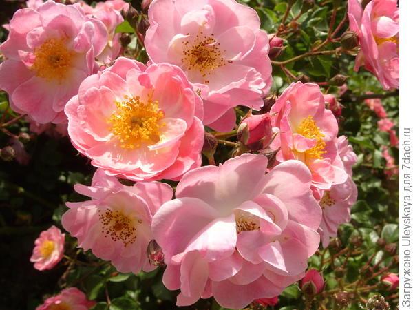 Почвопокровная роза сорт Fleurette
