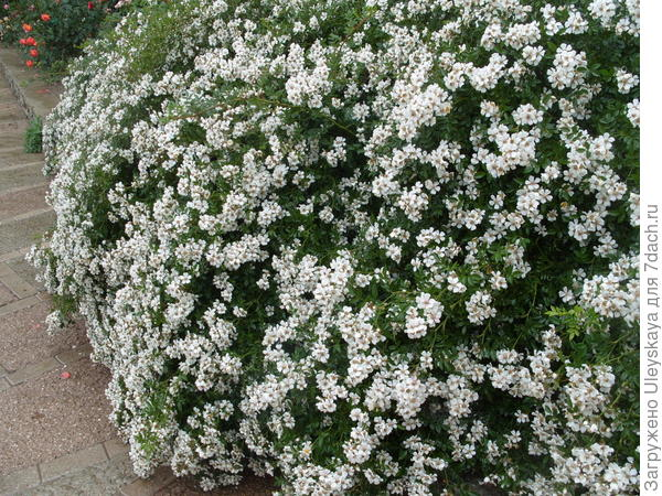 Почвопокровная роза сорт Nozomi