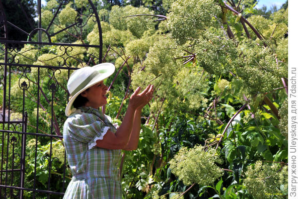У дудника лекарственного, фото сайта www.gerbesdangelica.com
