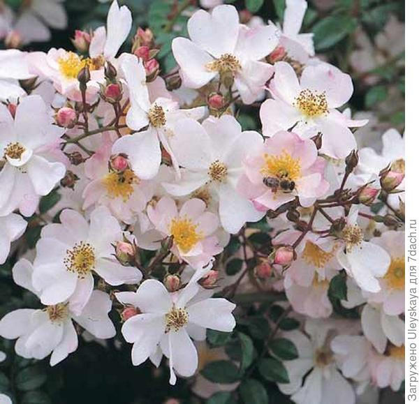 Почвопокровная роза сорт Immensee, фото сайта www.terra-pflanzenhandel.de