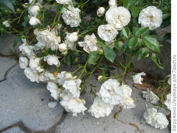 Почвопокровная роза сорт Swany