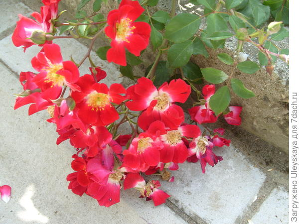 Почвопокровная роза сорт Rouge Meillandecor