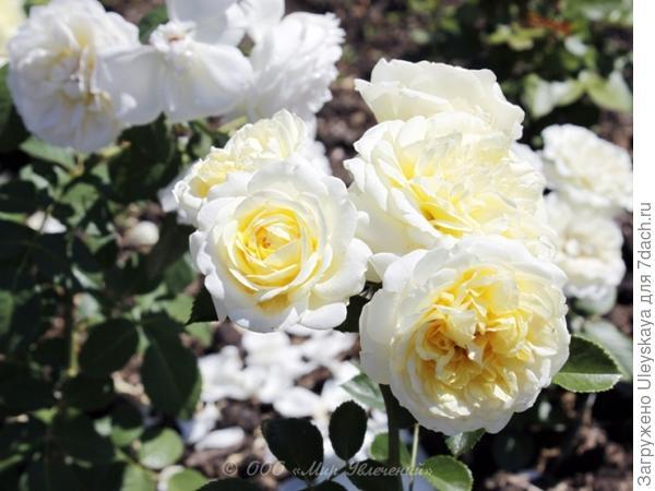 Почвопокровная роза сорт Kent, фото сайта http://clubs.ya.ru/4611686018427413080/replies.xml?item_no=1