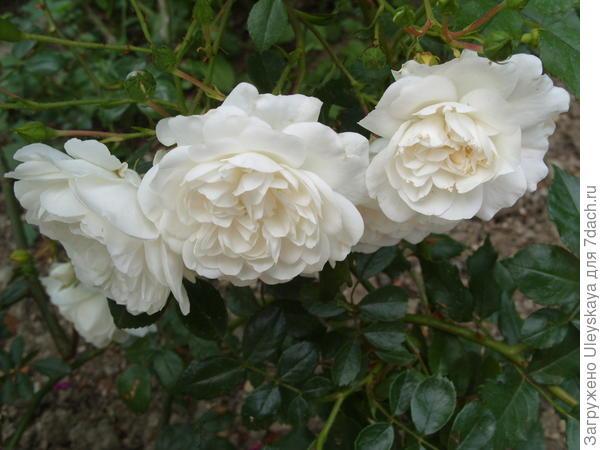 Почвопокровная роза сорт Snow Ballet