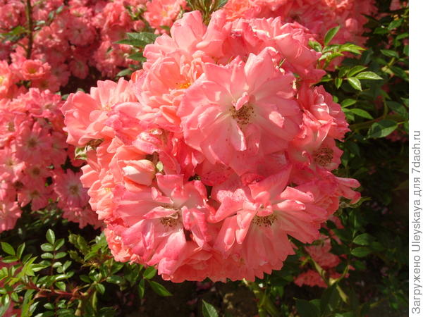 Почвопокровная роза сорт Ferdy