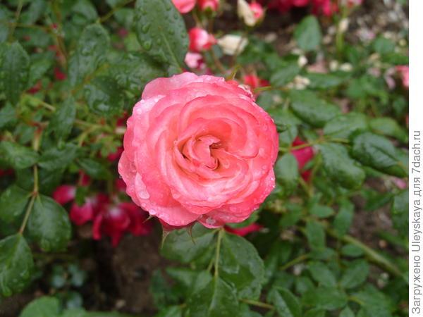 Почвопокровная роза сорт Patte de Velours