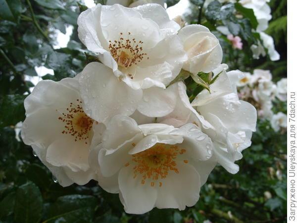 Почвопокровная роза сорт Ахтиар