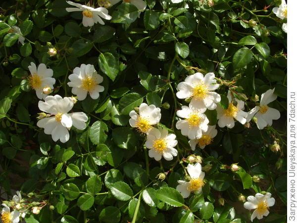 Почвопокровная роза сорт Weisse Immensee
