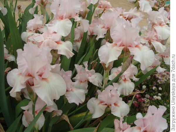 Цветет ирис сорт Pink Sleigh