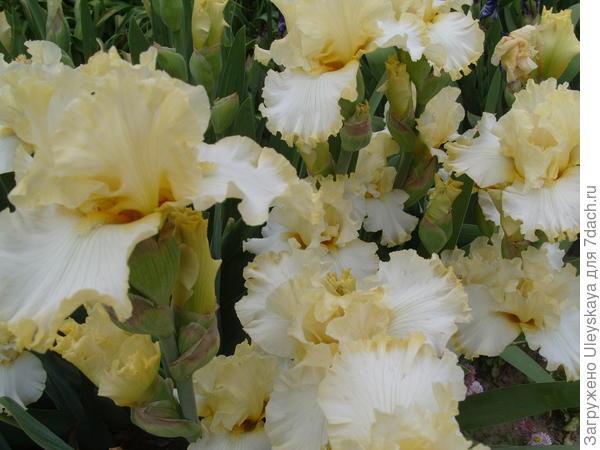 Цветет ирис сорт Ivory Way