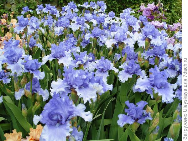 Цветет ирис сорт Honky Tonk Blues