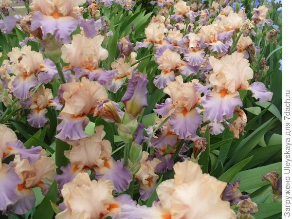 Цветет ирис сорт Kind Hearted