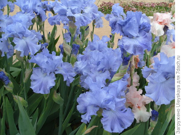 Цветет ирис сорт Delta Blues