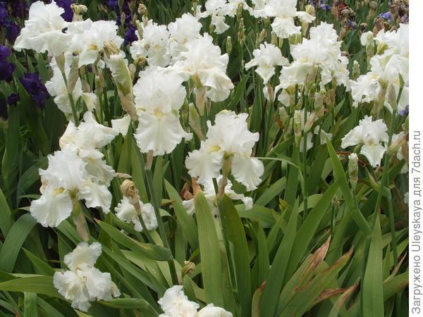 Цветет ирис сорт Lacy Snowflake